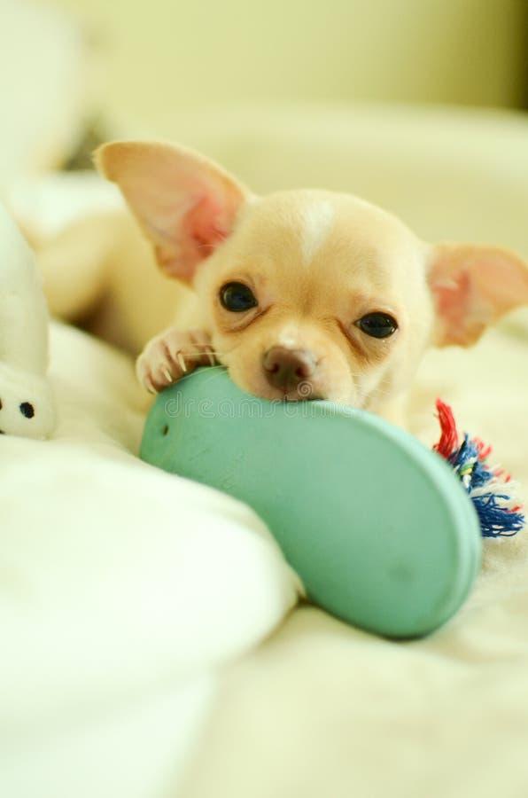 Gioco sveglio del gioco del cucciolo della chihuahua con il giocattolo immagine stock