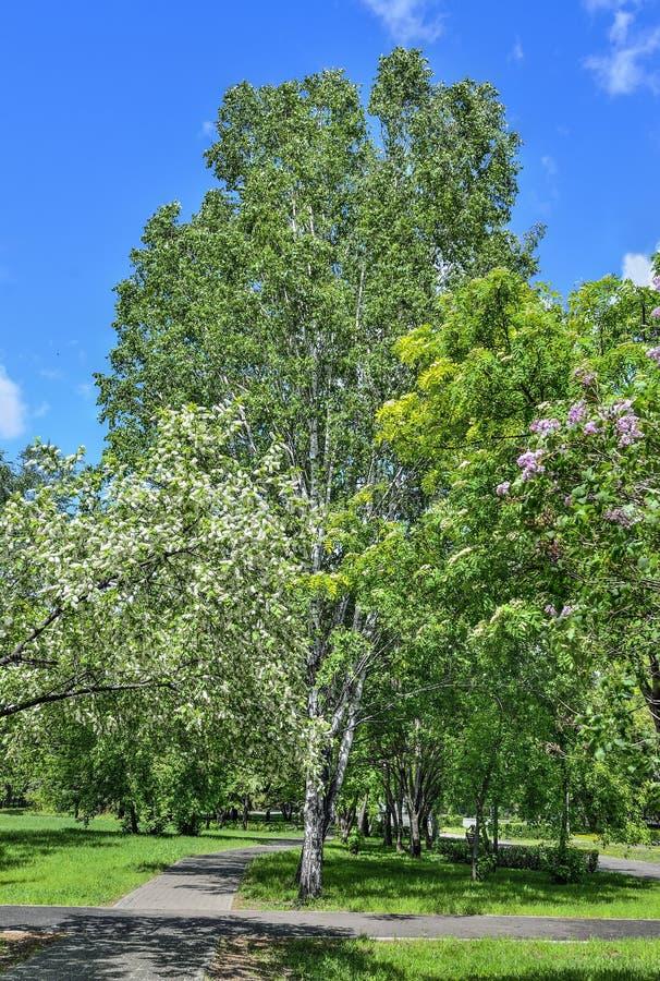 Giorno di primavera in parco con i ciliegi, il lillà e la sorba dell'uccello in piena fioritura fotografia stock