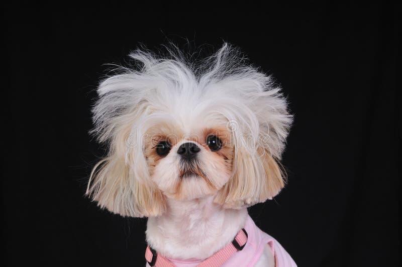 Giorno difettoso dei capelli del cane di Shih Tzu immagine stock
