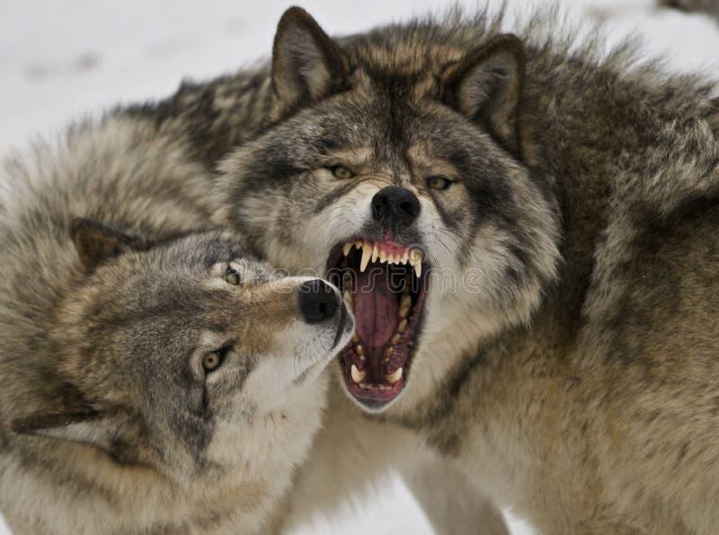 Giorno difettoso del lupo fotografia stock