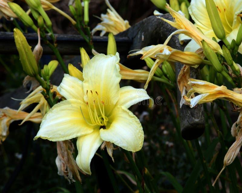 Giorno giallo lilly fotografia stock libera da diritti
