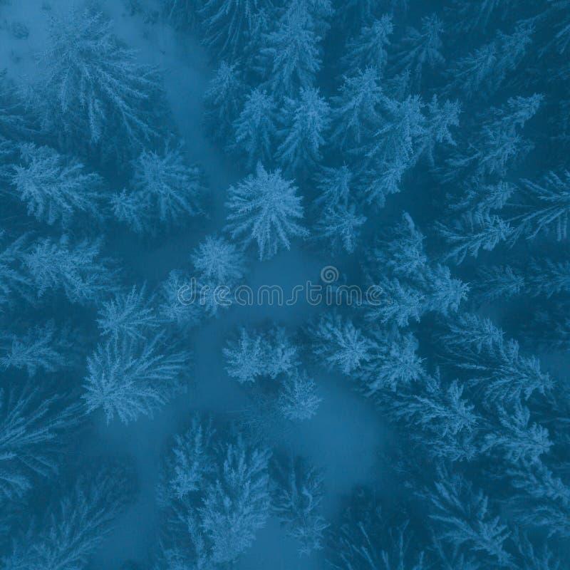 Giorno nuvoloso gelido negli alberi attillati di Snowy della foresta della montagna nella bufera di neve Colpo cinematografico di fotografia stock
