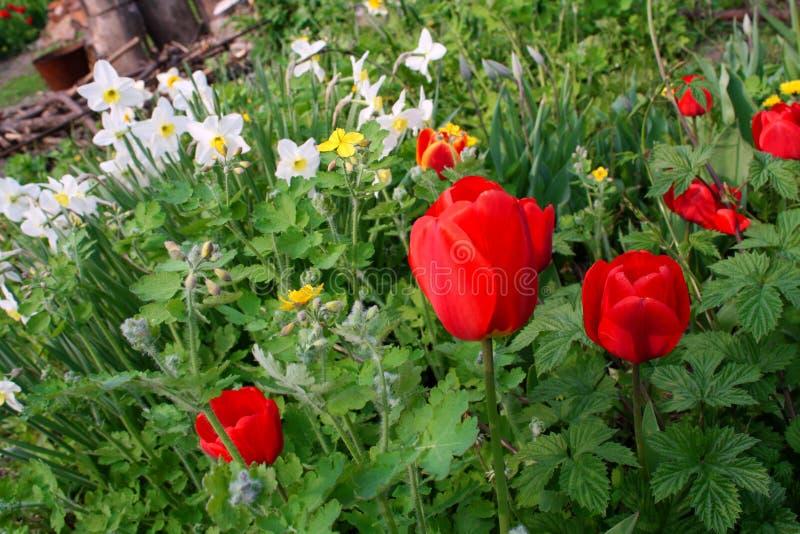 Giorno soleggiato nel giardino con i tulipani rossi ed i narcisi bianchi fotografie stock libere da diritti