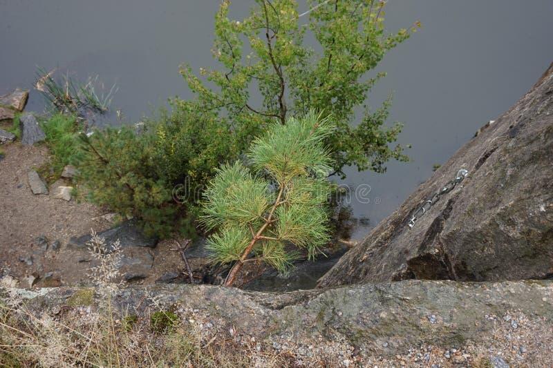 Giovane abete rosso che si è sviluppato in una roccia su una scogliera Intorno alla nebbia immagini stock libere da diritti