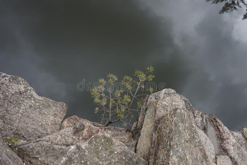 Giovane abete rosso che si è sviluppato in una roccia su una scogliera Intorno alla nebbia immagine stock libera da diritti