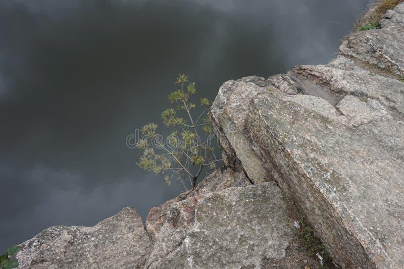 Giovane abete rosso che si è sviluppato in una roccia su una scogliera Intorno alla nebbia fotografia stock libera da diritti