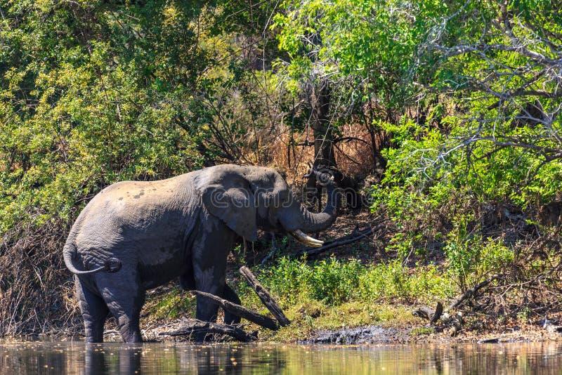 Giovane acqua dell'anello a D dell'elefante in un fiume fotografia stock