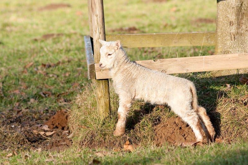 Giovane agnello dalla rete fissa Sunlit immagini stock