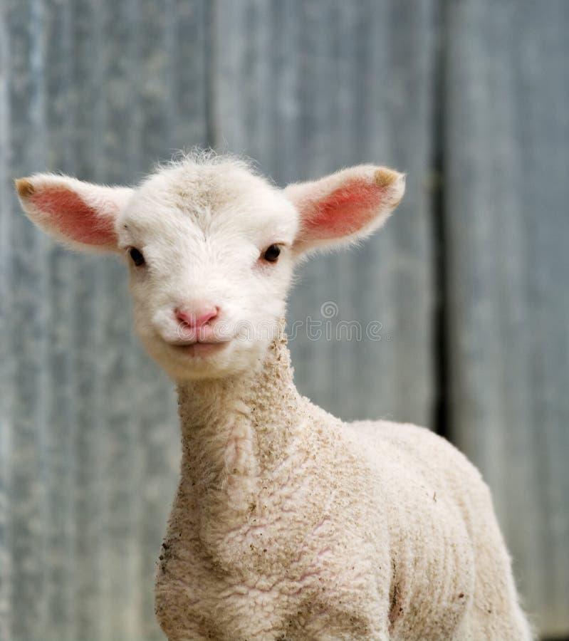 Giovane agnello sull'azienda agricola fotografia stock libera da diritti