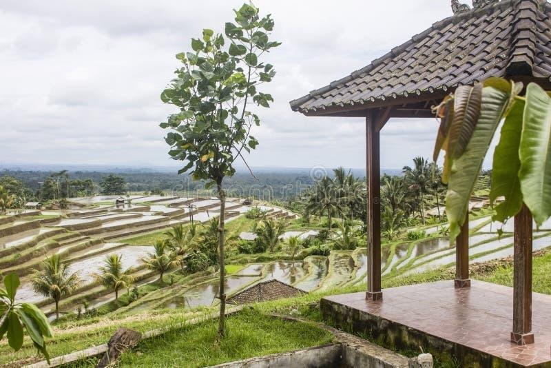 Giovane albero accanto ad un gazebo, con la vista ai campi di risaia ed alle palme bagnati in Jatiluwih, isola di Bali immagini stock
