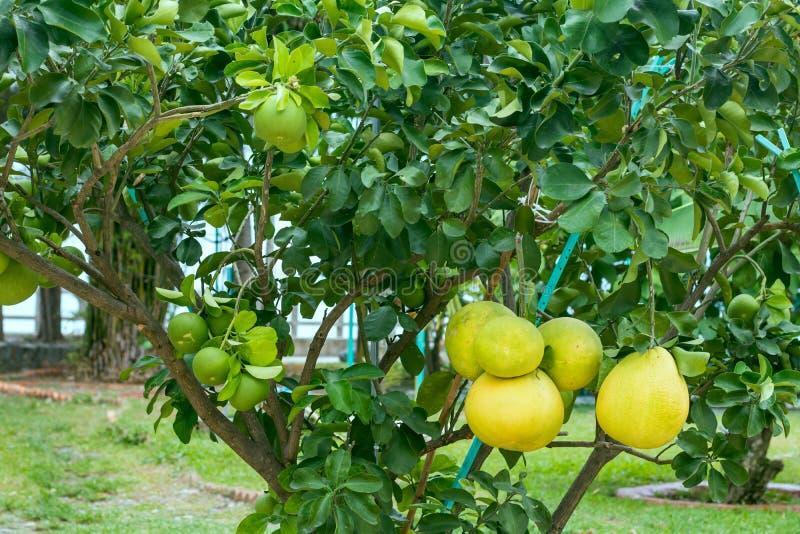 Giovane albero con la frutta del pomelo fotografia stock libera da diritti