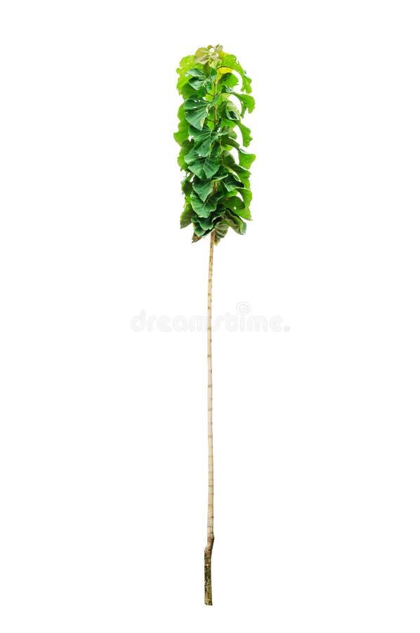 Giovane albero del tek immagini stock libere da diritti