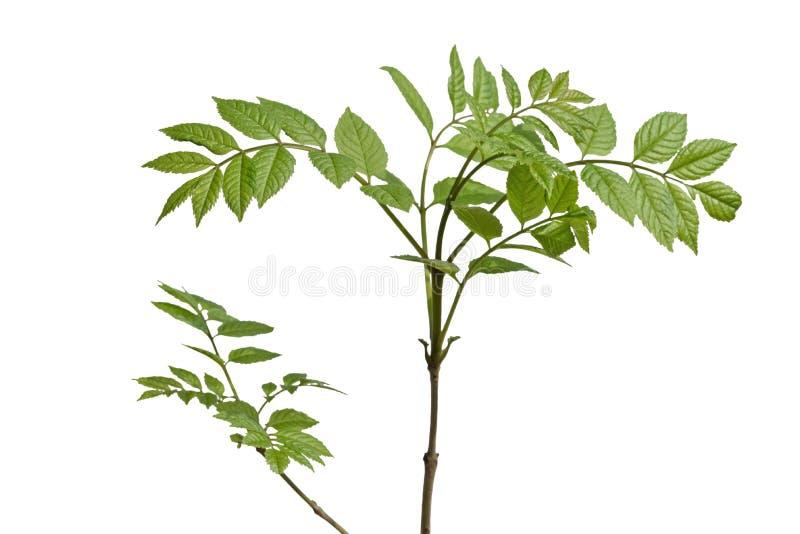 Giovane albero di cenere fotografie stock
