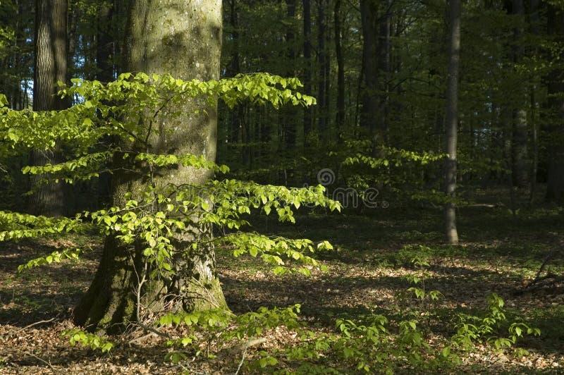 Giovane albero di faggio al sole fotografia stock libera da diritti