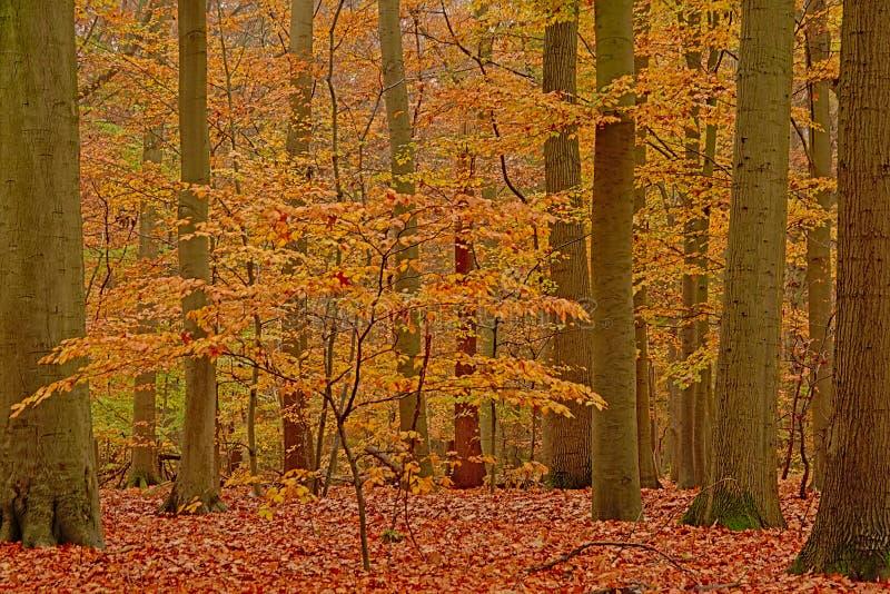 Giovane albero di faggio fra gli alti tronchi in una foresta di autunno nella campagna fiamminga fotografia stock