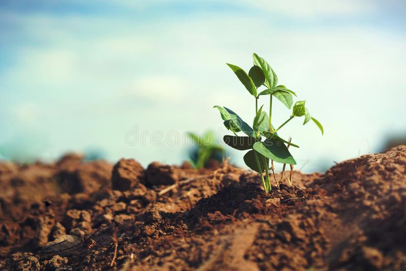 giovane albero di fagiolo in giardino con sole fotografie stock libere da diritti