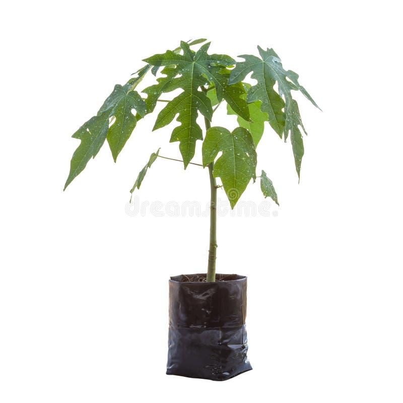 Giovane albero di papaia fresco isolato su fondo bianco Risparmi con fotografia stock libera da diritti