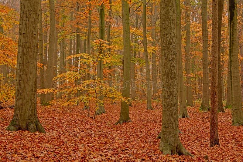 Giovane albero fra gli alti tronchi in una foresta del faggio di autunno nella campagna fiamminga immagini stock