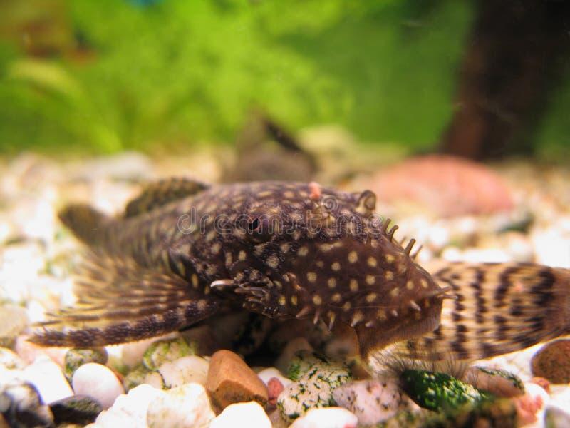 Giovane Ancistrus (pesce gatto del Setola-radiatore anteriore) immagini stock