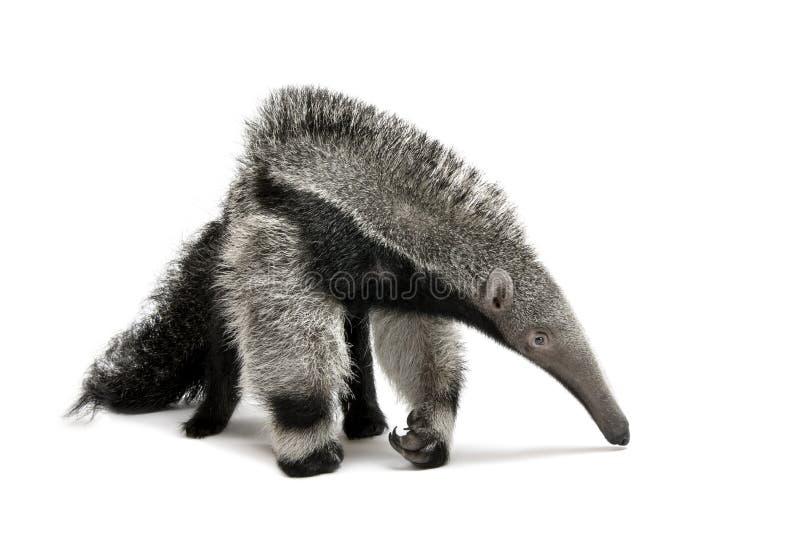 Giovane Anteater gigante contro priorità bassa bianca fotografie stock libere da diritti