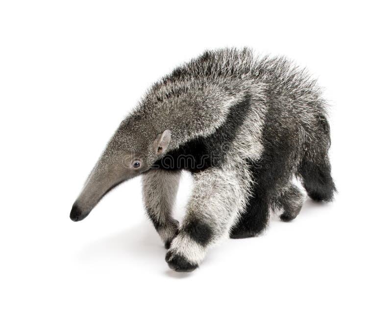 Giovane Anteater gigante contro priorità bassa bianca fotografia stock