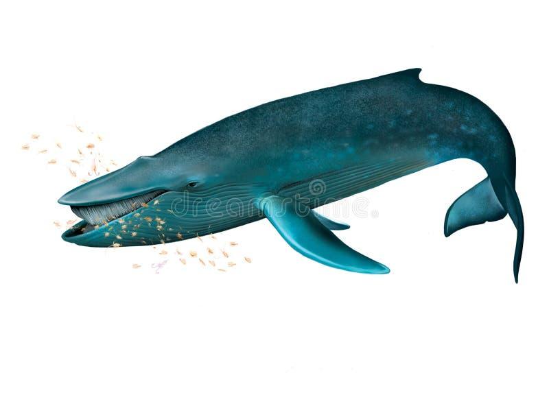 Giovane balena blu. illustrazione di stock