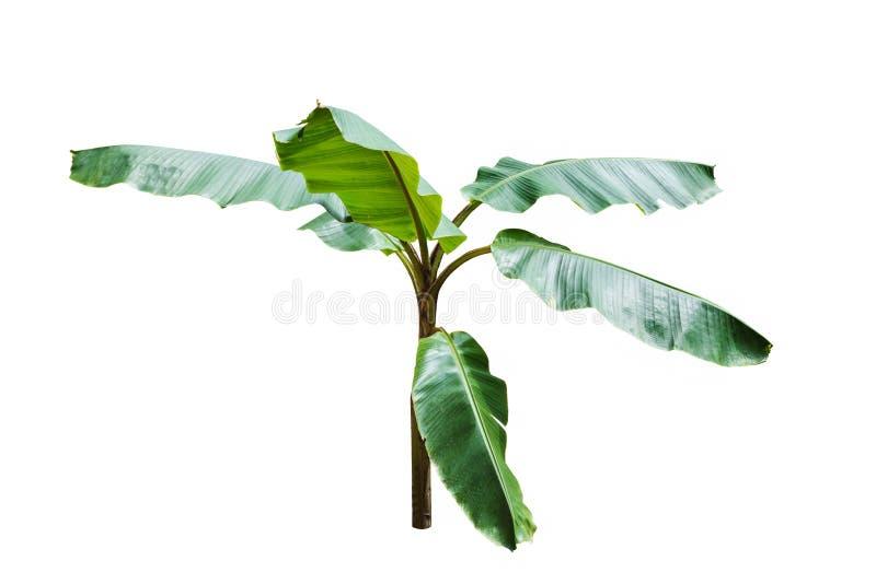 Giovane banano isolato su fondo bianco immagine stock libera da diritti