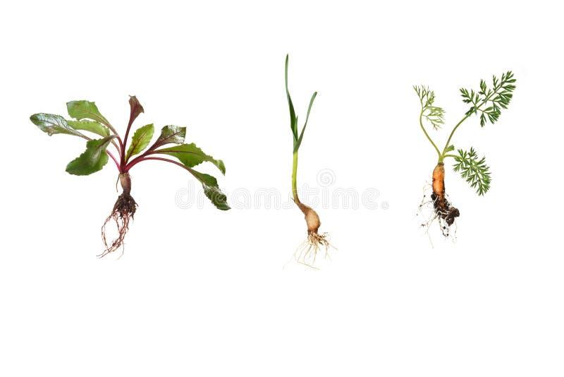 Giovane barbabietola, aglio, carota nelle fasi presto crescenti fotografia stock