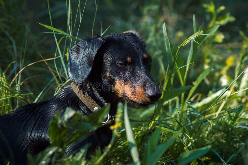 Giovane bassotto tedesco sveglio del cane con i fungino di malattia immagini stock libere da diritti