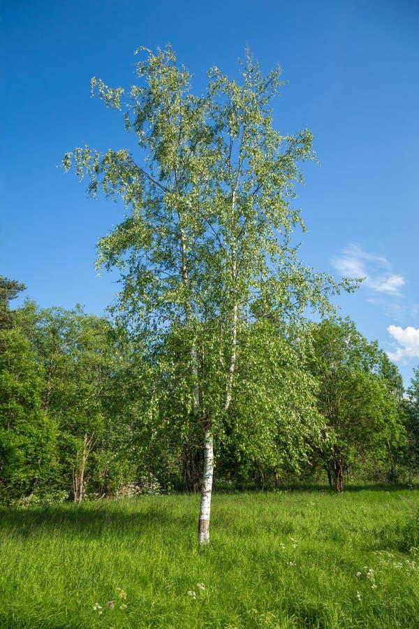 Giovane bella betulla russa nel prato fotografie stock libere da diritti