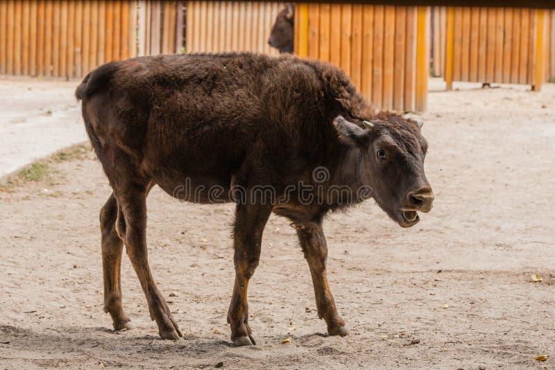 Giovane bello bisonte fotografie stock libere da diritti