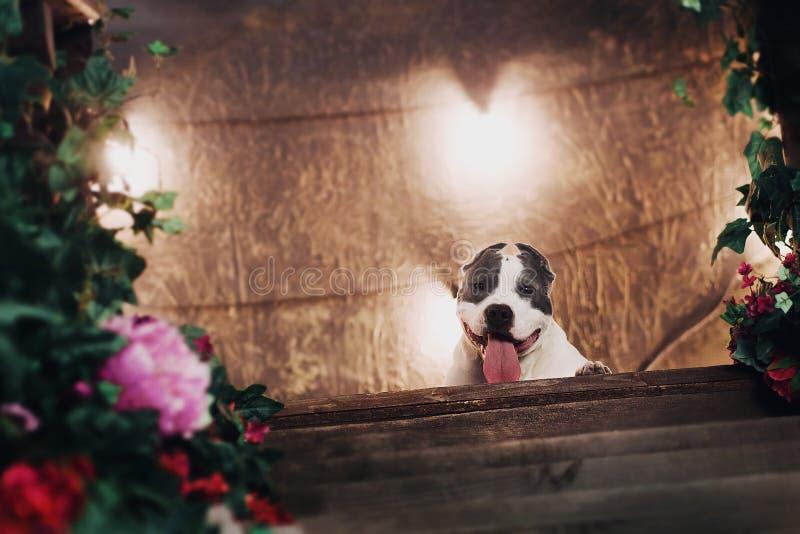 Giovane bello cane del terrier di Staffordshire americano che si trova al pavimento dello studio nella festa soleggiata di estate fotografie stock libere da diritti