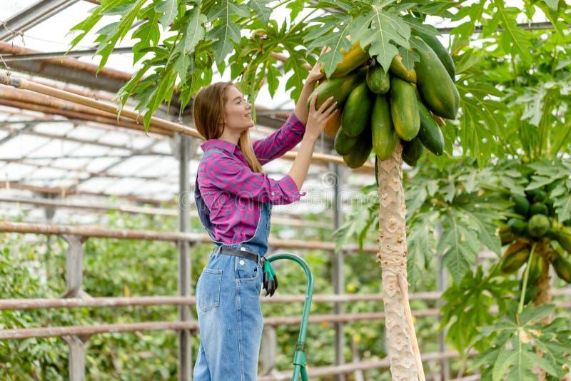 Giovane bello giardiniere femminile che ooking per la papaia gialla fotografia stock libera da diritti