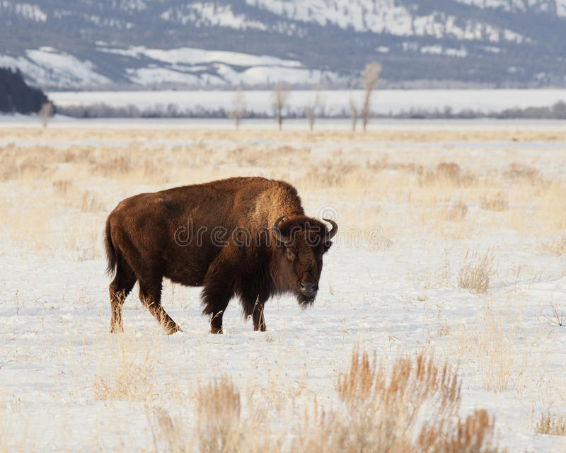 Giovane bisonte di inverno nel Tetons immagini stock