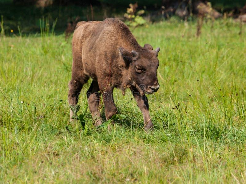 Giovane bisonte di legno europeo nella foresta primigenia di Bialowieza fotografia stock libera da diritti