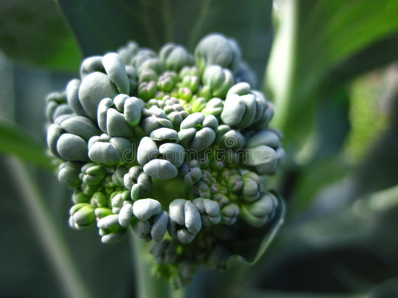 Giovane broccolo immagine stock libera da diritti