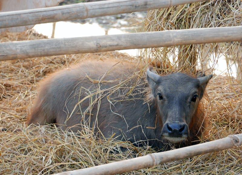 Giovane bufalo d'acqua fotografia stock libera da diritti