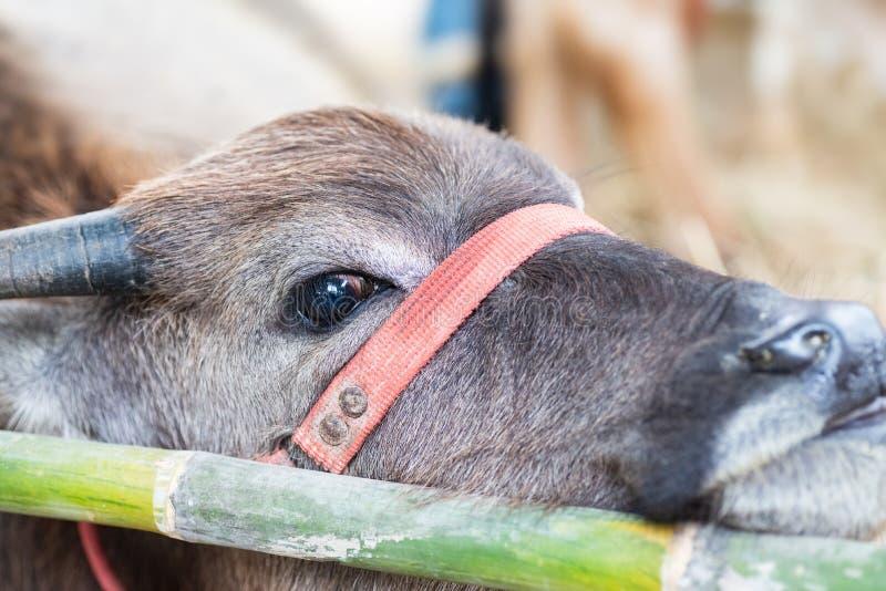 Giovane bufalo nell'azienda agricola immagini stock
