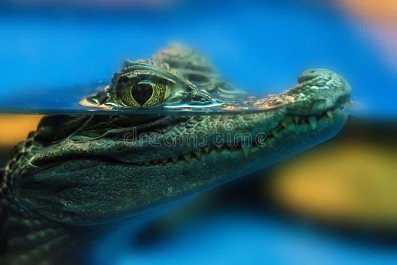 Giovane caimano dagli occhiali o caiman crocodilus fotografia stock libera da diritti