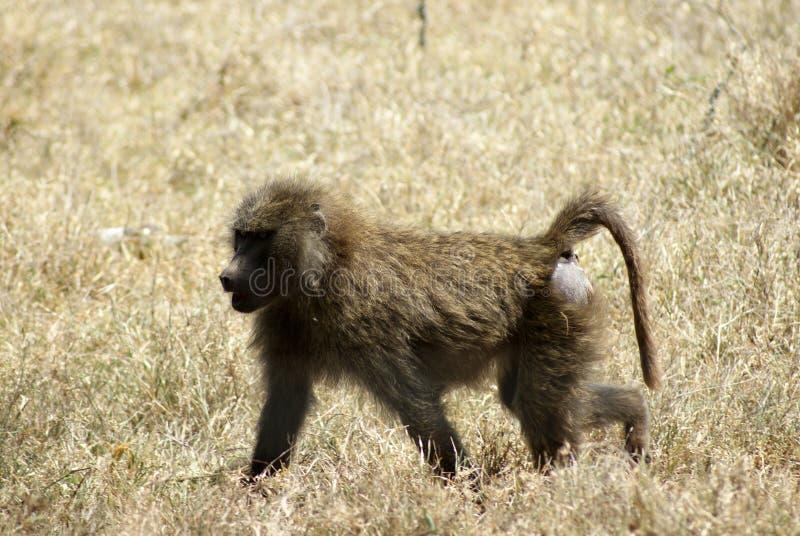 Giovane camminare del babbuino fotografia stock libera da diritti