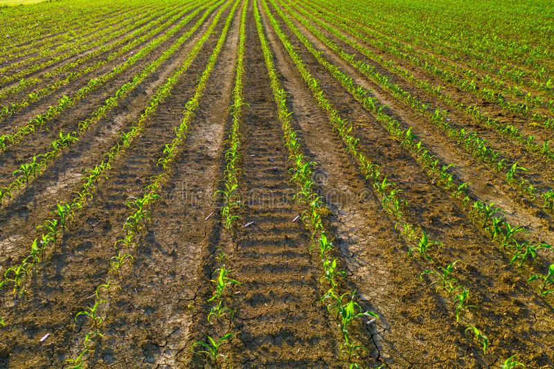 Giovane campo di grano nell'alba, file delle piante, agricoltura e protezione dell'impianto immagine stock libera da diritti