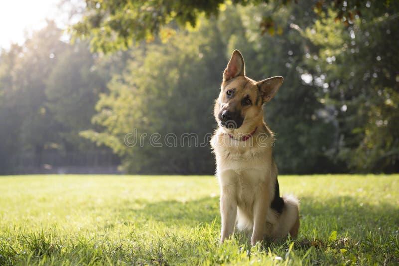 Giovane cane alsatian purebreed in sosta immagine stock