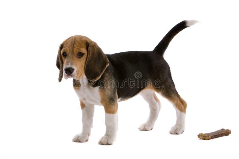 Download Giovane Cane Da Lepre Con L'osso Fotografia Stock - Immagine di puppy, pets: 7315802