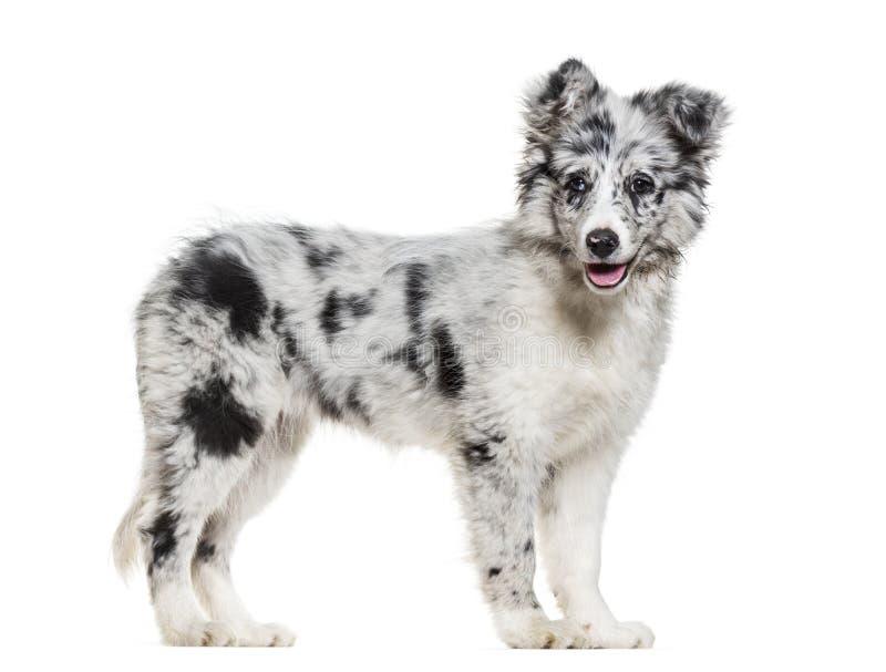 Giovane cane di border collie che esamina macchina fotografica contro il backgrou bianco fotografia stock libera da diritti