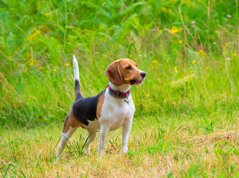 Giovane cane femminile del cane da lepre con il bastone immagine stock