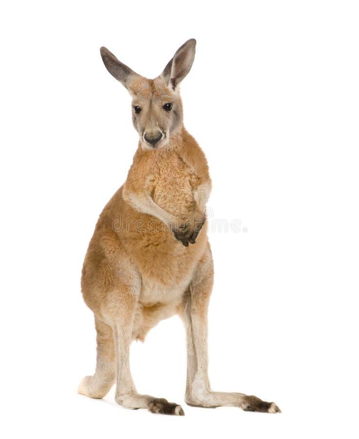 Giovane canguro rosso (9 mesi) - rufus del Macropus immagine stock