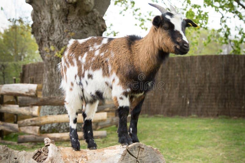Giovane capra fotografia stock