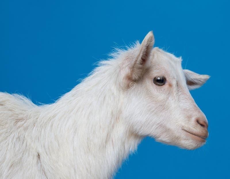 Download Giovane capra bianca immagine stock. Immagine di colpo - 30831521