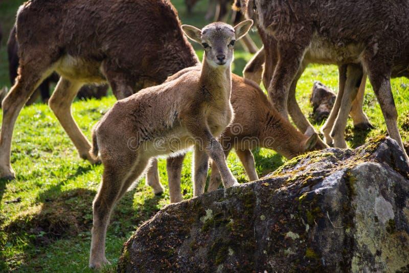 Giovane capra che si leva in piedi su una roccia fotografie stock libere da diritti