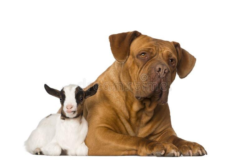Giovane capra domestica e un Dogue de Bordeaux fotografie stock libere da diritti